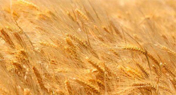 grau-cultura-cereale